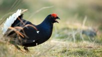 Black Grouse Safaris